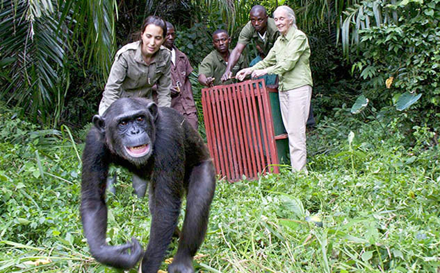 Rescued Chimpanzees of the Congo con Jane Goodall.